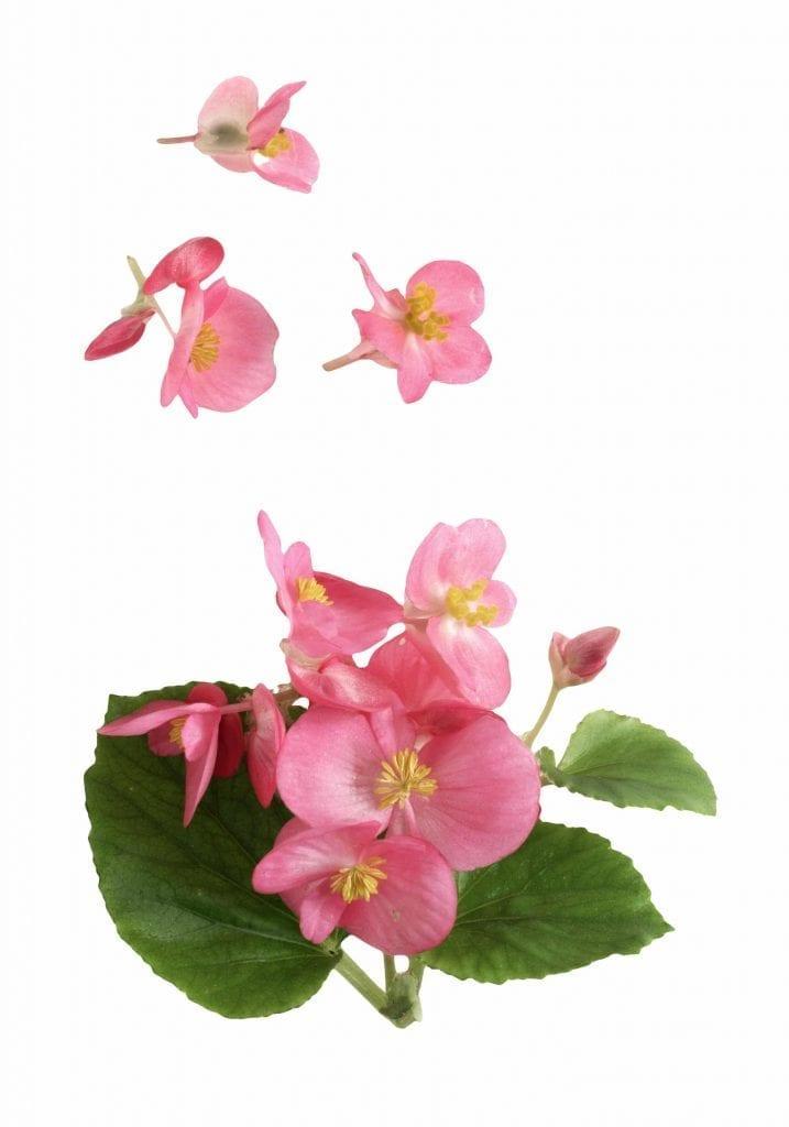 pink begonia tea rose flowers have wonderful aroma