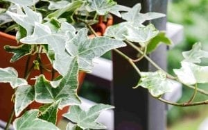 English ivy in pot plants for beginners
