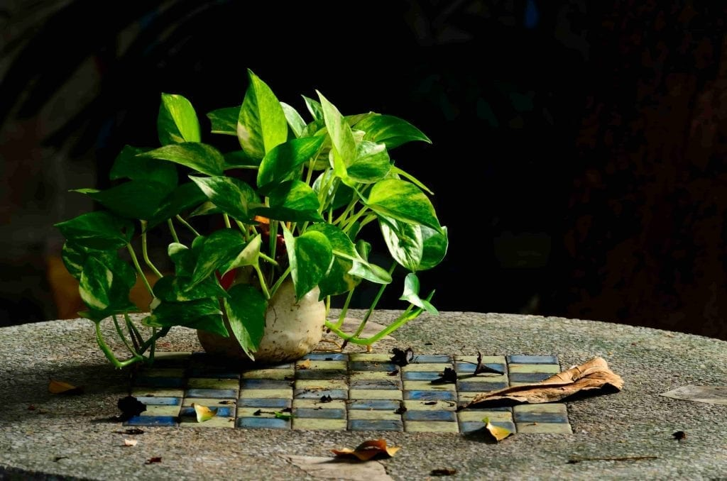 Golden Pothos in pot on table