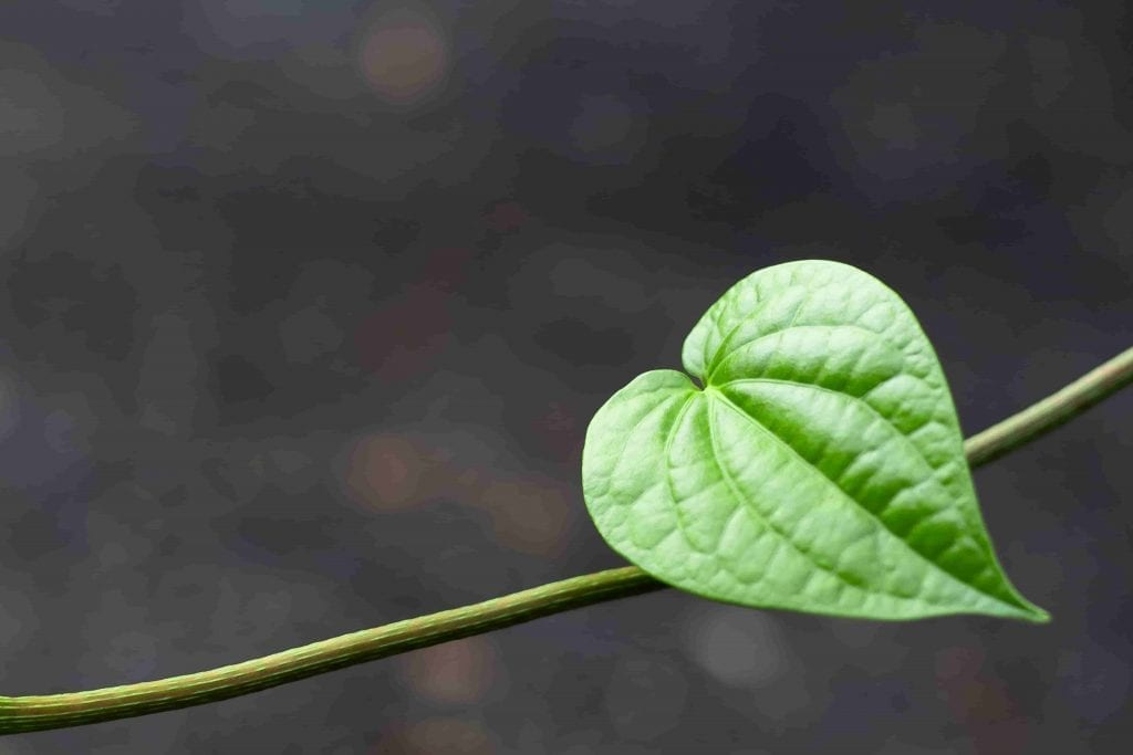 heart shaped betel leaf plant for valentine's gift