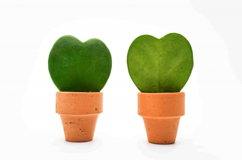 Heart Hoya leaf in small pot for Valentine's Day gifting