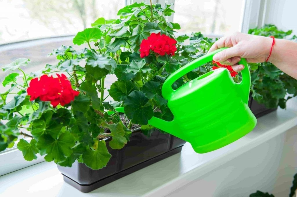 Human hand holding watering can and watering red Geranium flowers pots on windowsill. Indoor