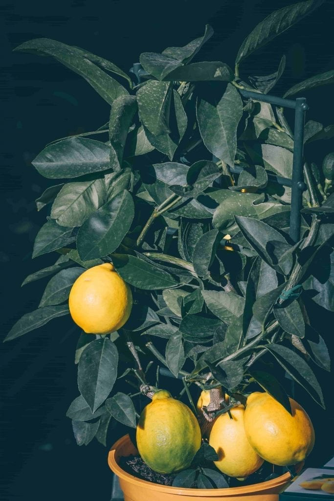 aromatic dwarf lemon tree with fruit in a pot smells good