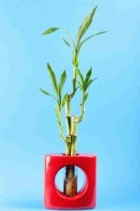 lucky bamboo in red pot with blue background