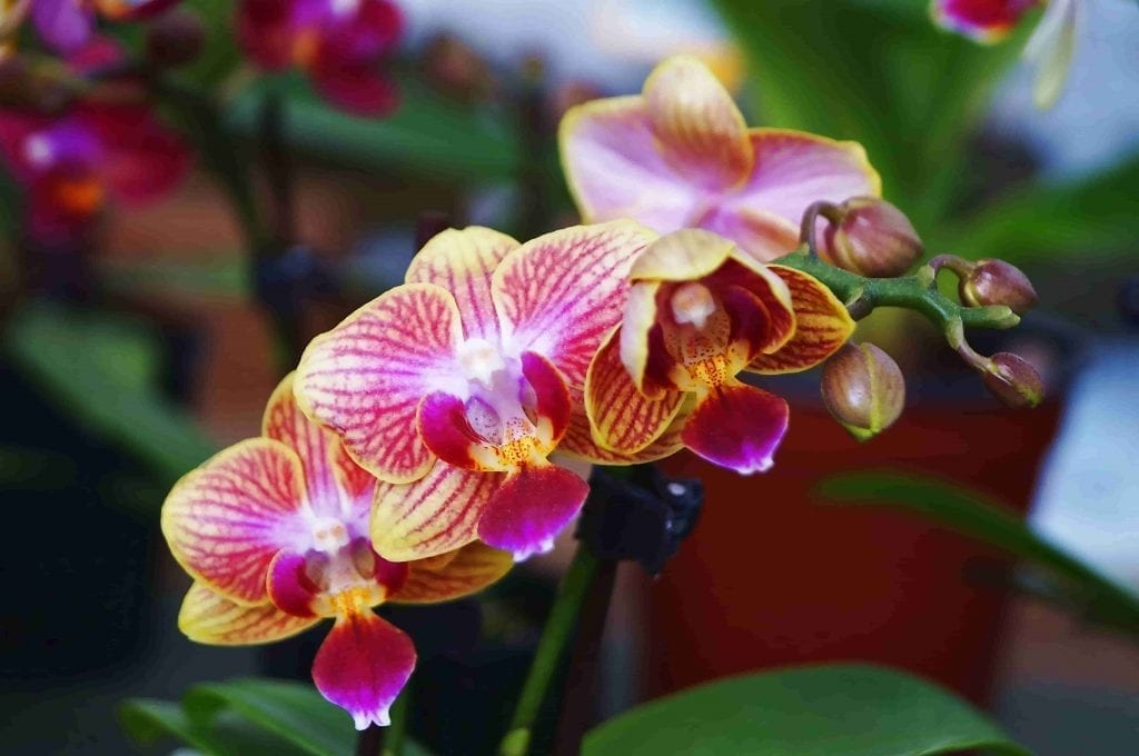 pink and yellow pansy orchid flowers