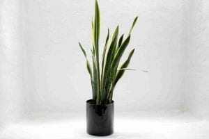 green snake houseplants for beginners