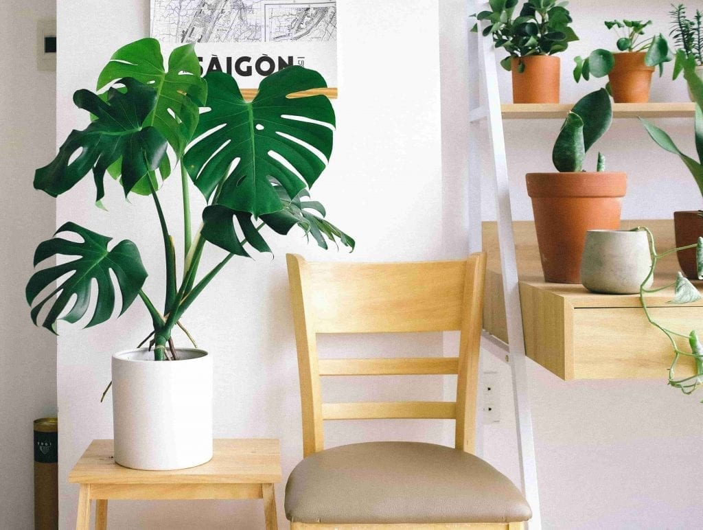 Photo of Swiss Cheese Plant Beside Chair for valentine's day gifting