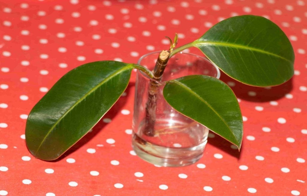 Rubber fig propagation in water. Ficus elastica-