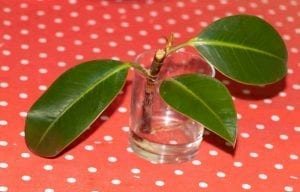 Rubber fig propagation in water. Ficus elastica-