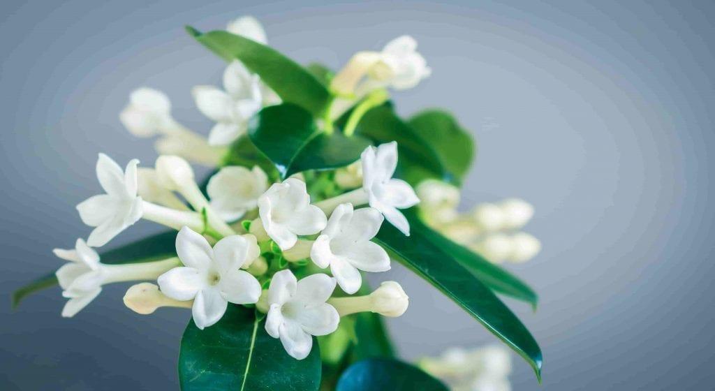 white stephanotis flowers with leaves