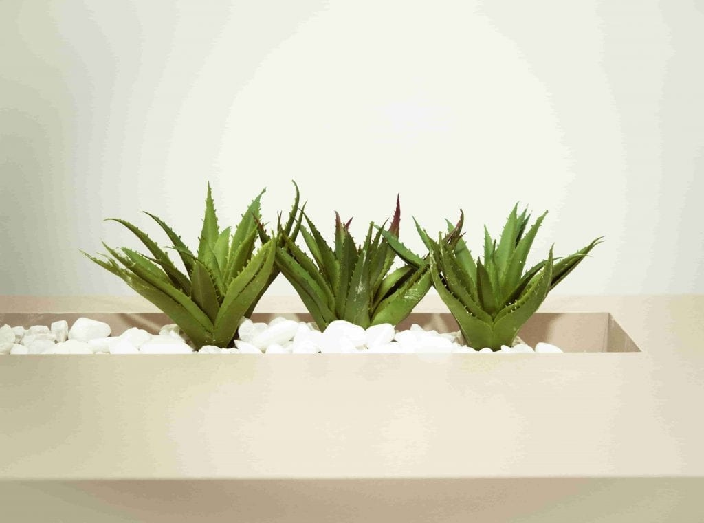 three aloe vera in white planter and white gravel houseplant for beginners