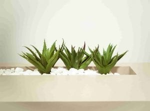 three aloe vera in white planter and white gravel houseplant for beginners