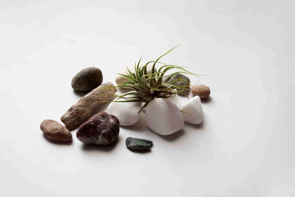 air plants on sea stones