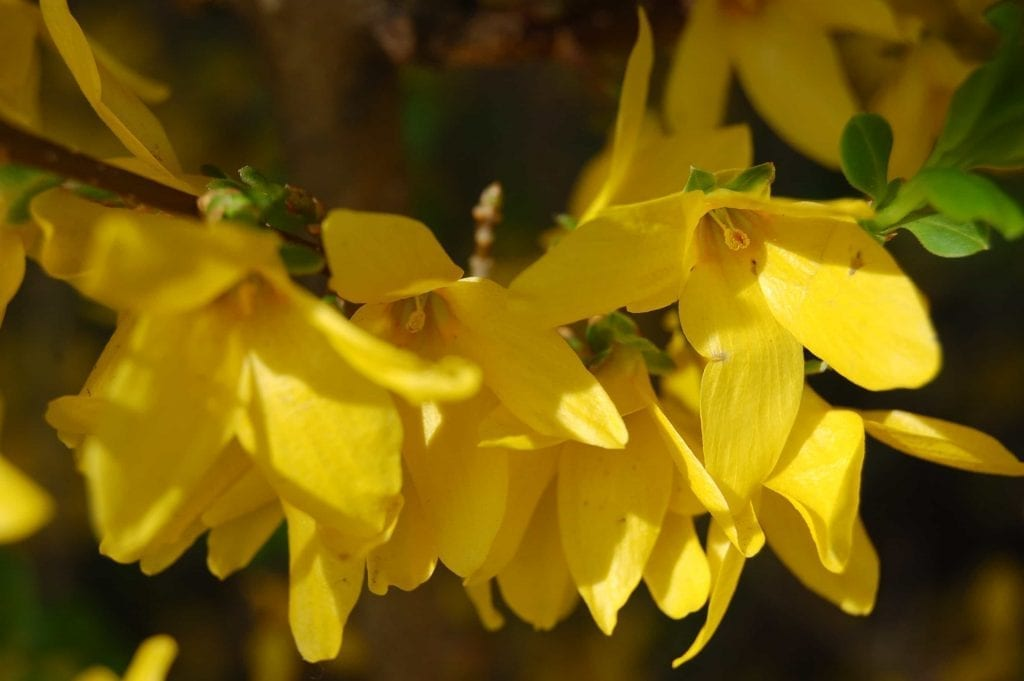 yellow flower of winter jasmine in the house