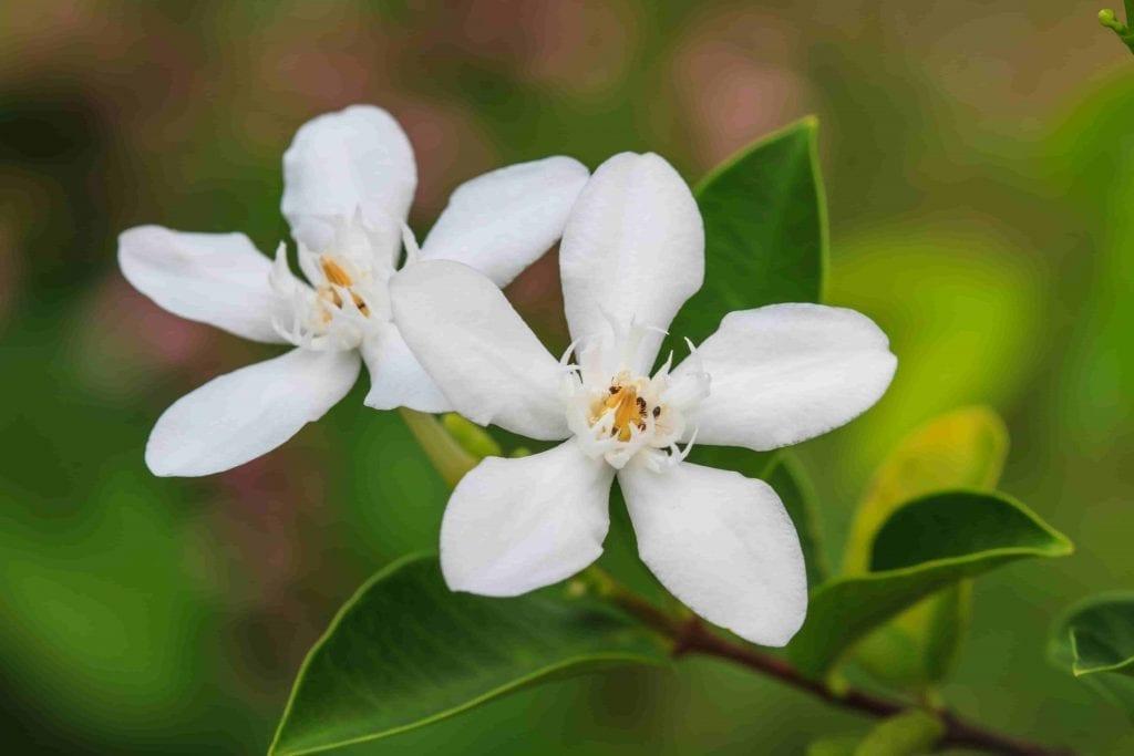 white gardenia flower on dark green leaves