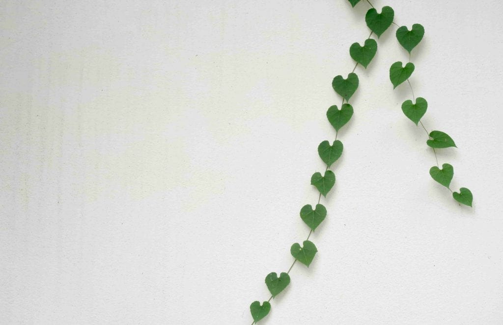 heart shaped leaves on white wall