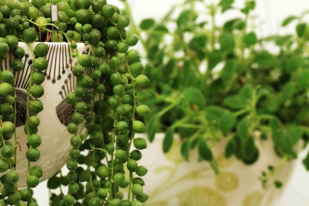 string of pearls plant draping from pot