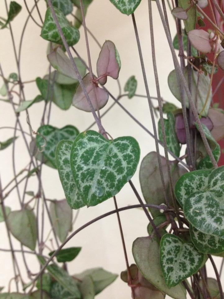 string of hearts vine for valentine's day gifting