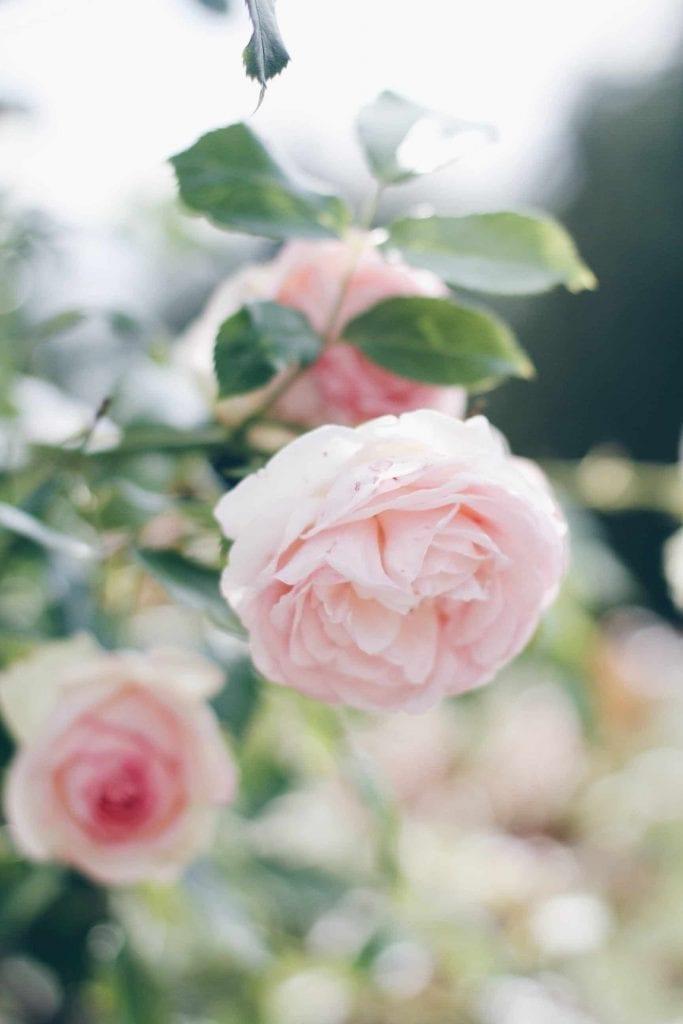 english roses look like peonies