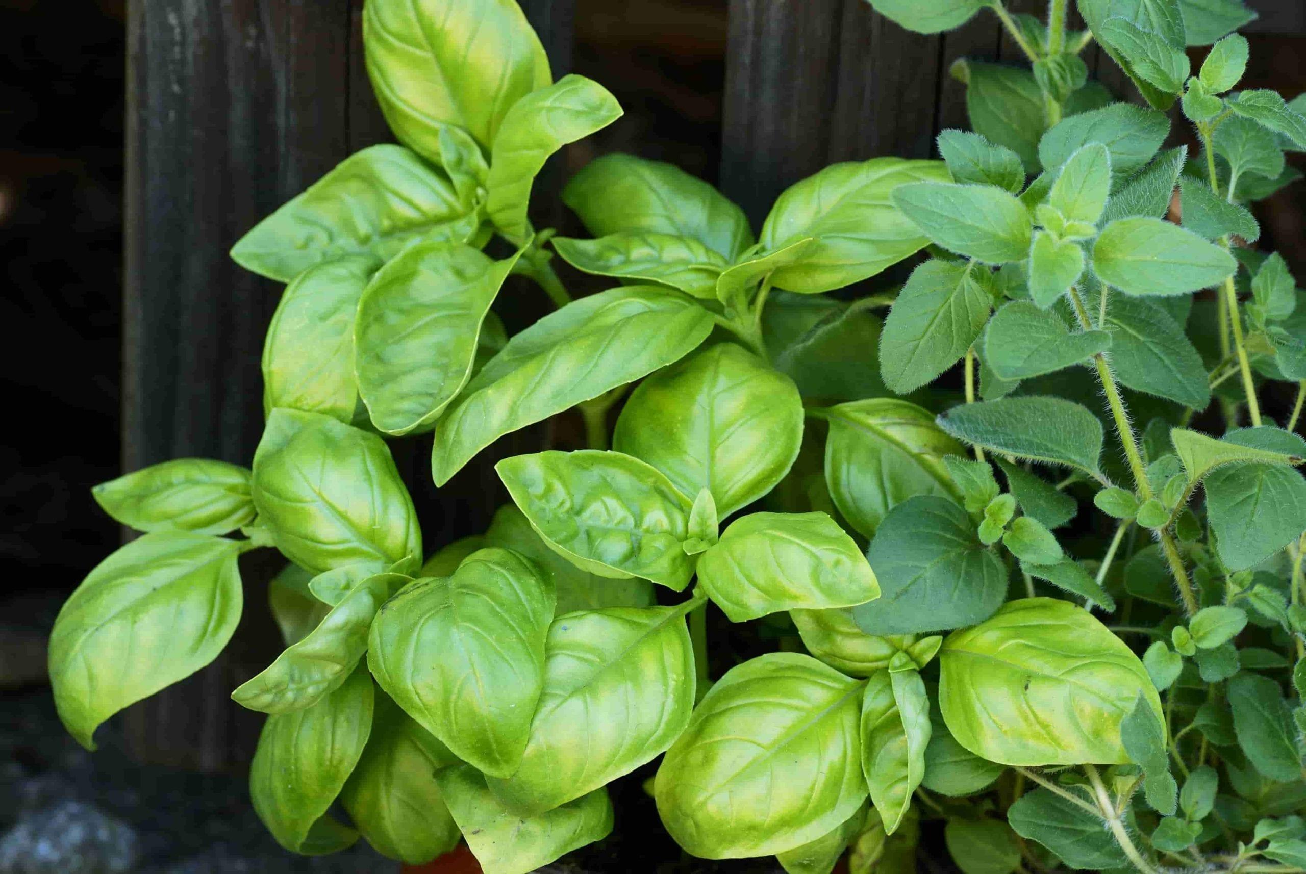 herb garden ideas basil and oregano