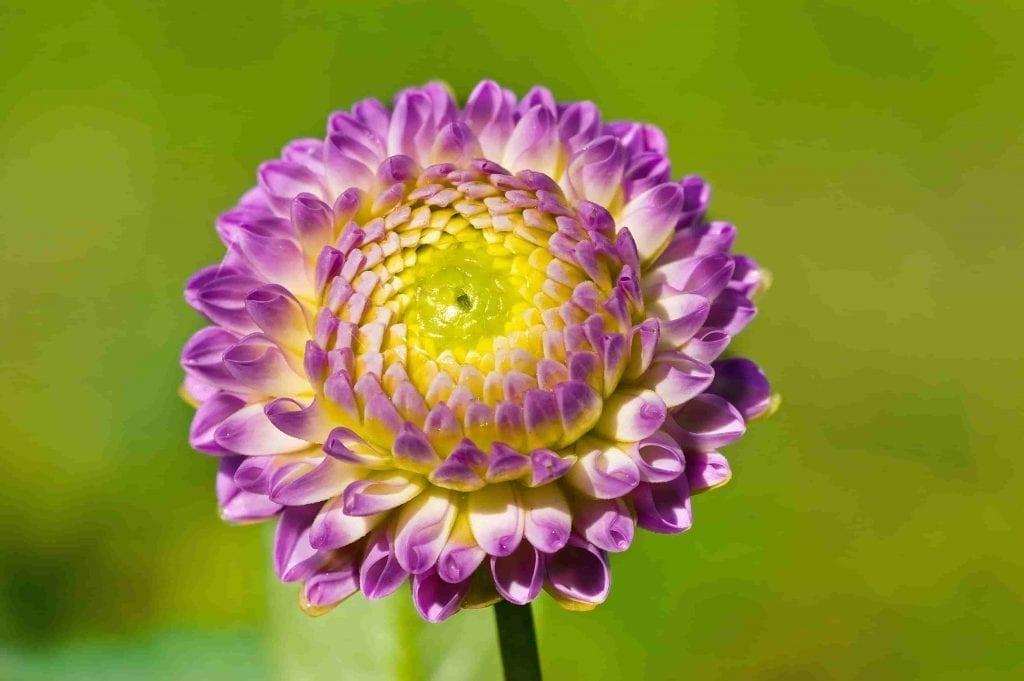 purple dahlia is 10-12 inches across