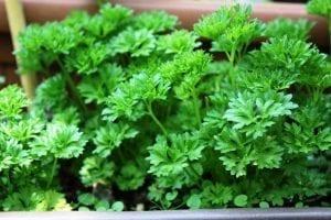 fresh parsley garden herbs
