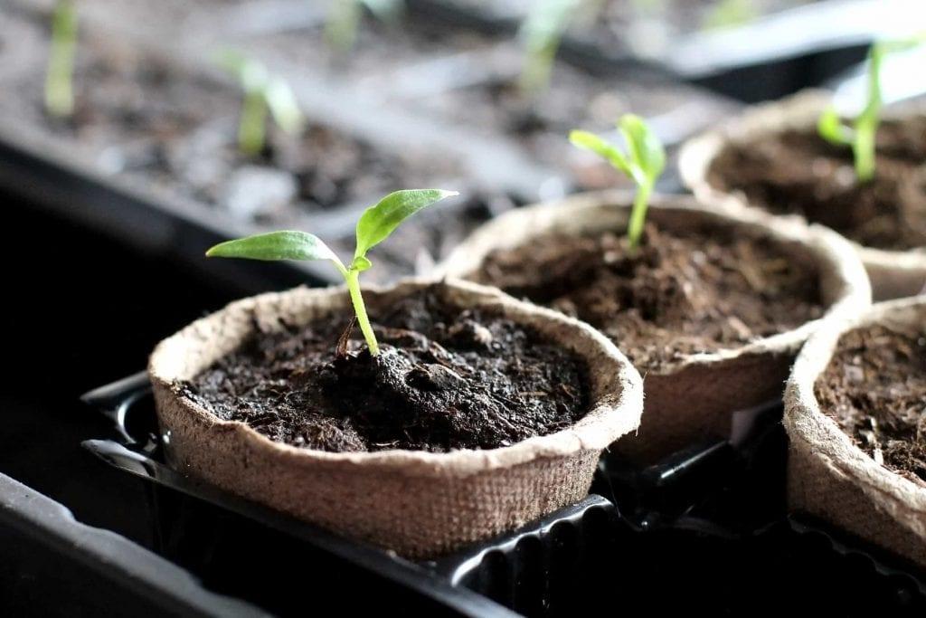 Peat pots with vegetable seedlings growing in them