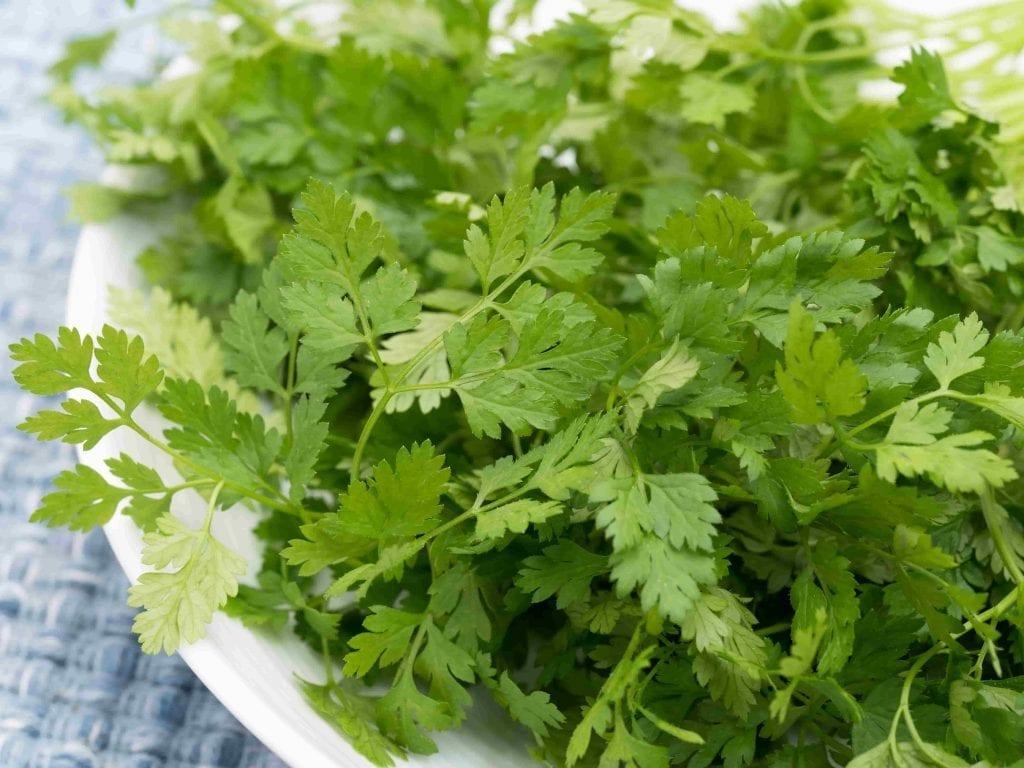 garden herb chervil