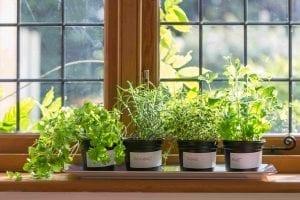 growing herbs indoors on a windowsill