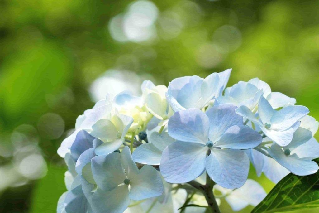 giant blue hydrangea flower