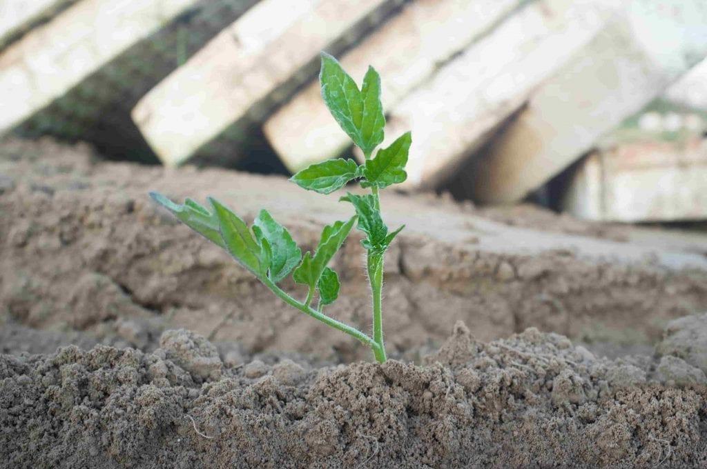 tomato seedling transplanted in garden