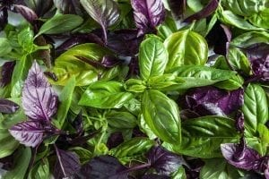 garden herbs green and purple basil leaf