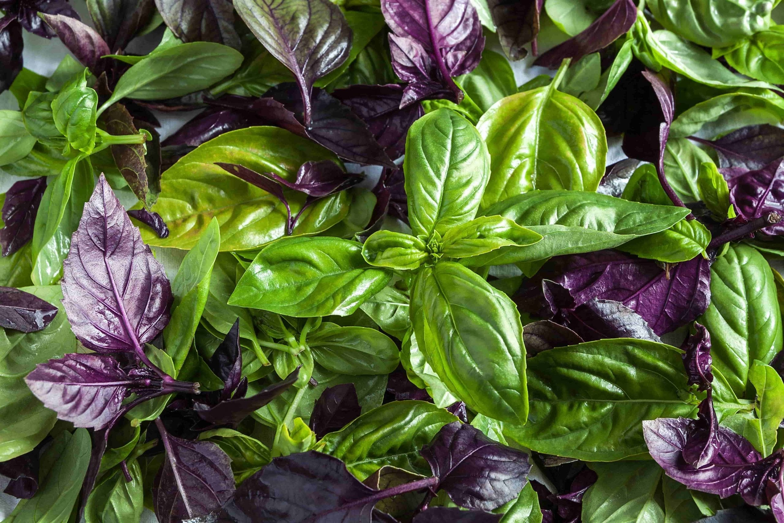 garden herbs green and purple basil leaf