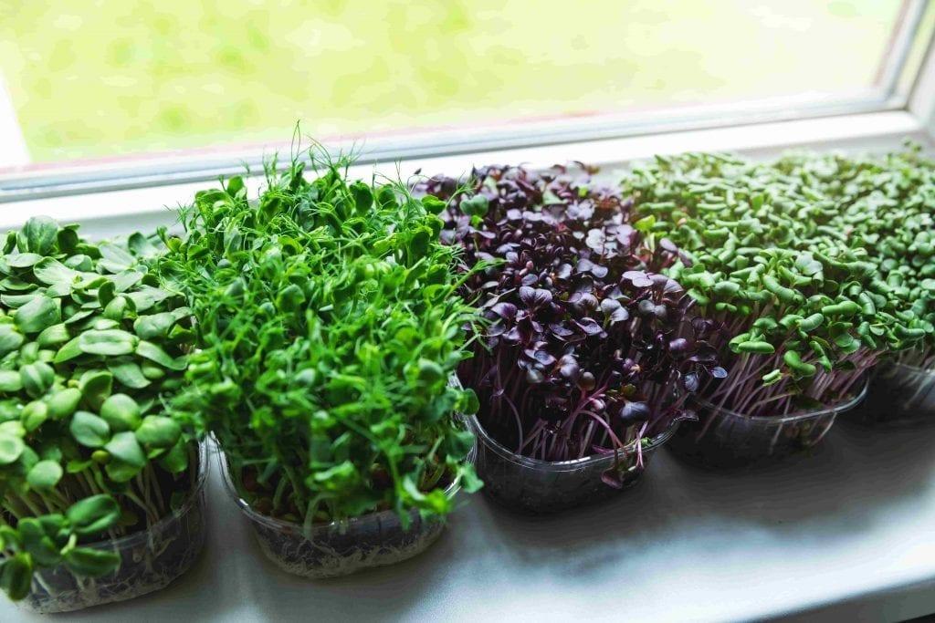 growing microgreens on a sunny windowsill