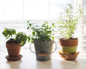 growing herbs indoors three pots with saucers and herbs on windowsill