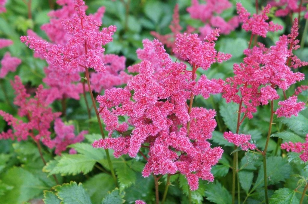 Astilbe japonica red flowers with green leaves