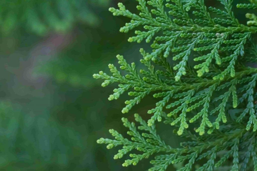 arborvitae leaves