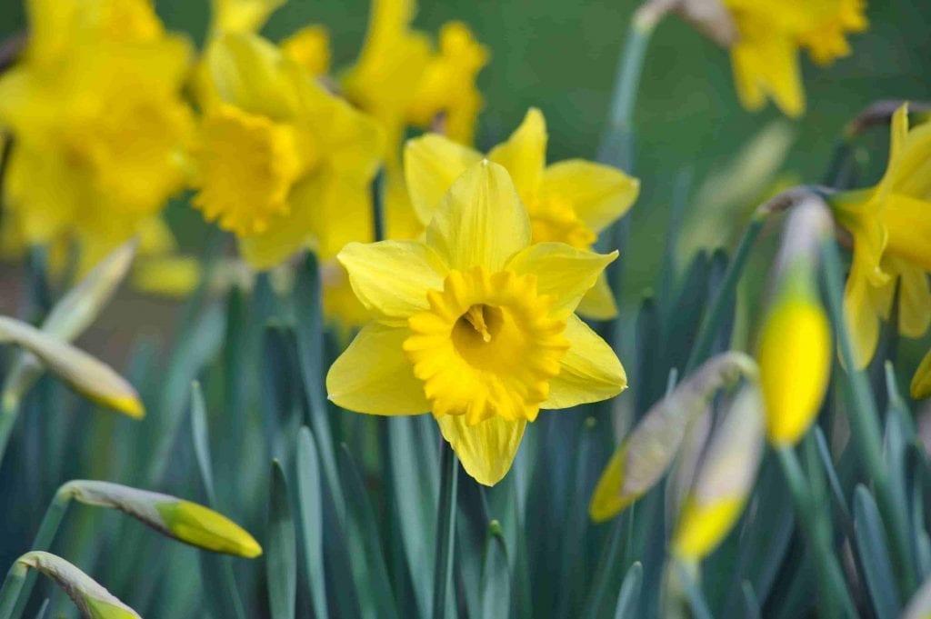 yellow daffodils on green stems