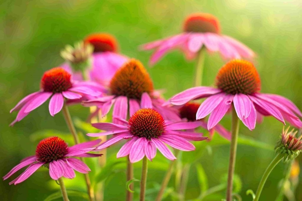 echinacea flowers on green stems