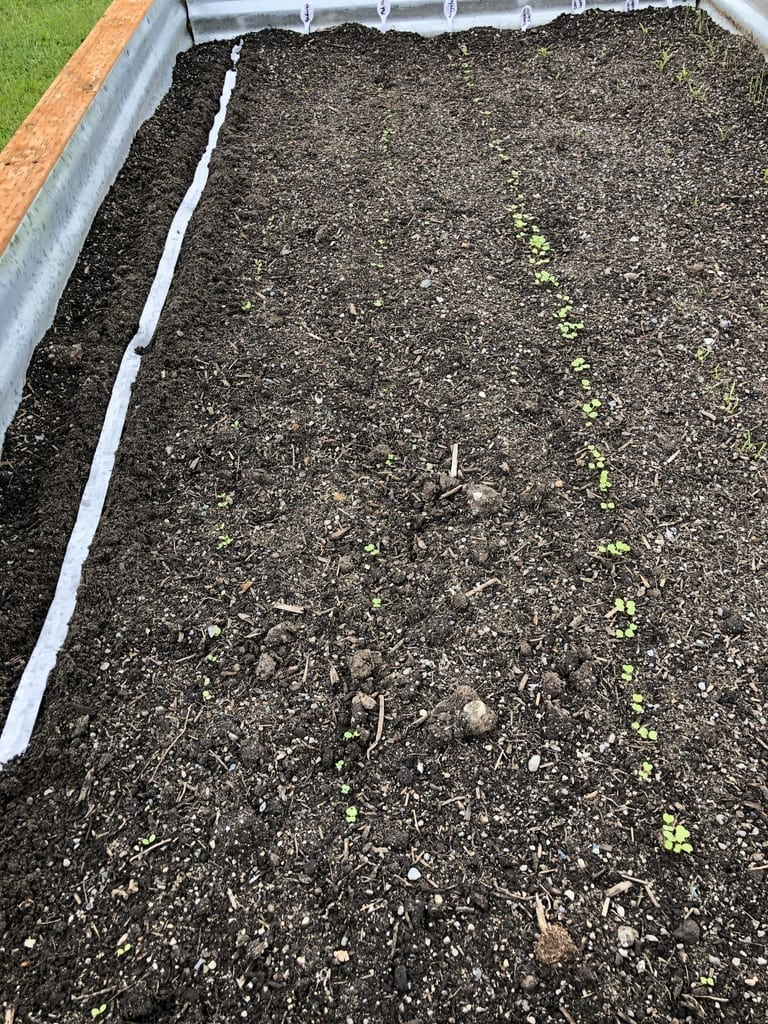 planting radishes the right way using seed tape
