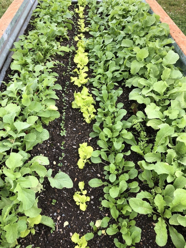 Radishes ready to harvest next to radish seedlings