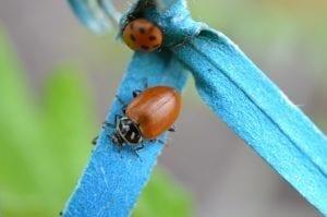 ladybug on blue tape with no spots