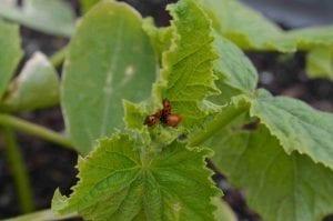 ladybugs gathered inside a leaf