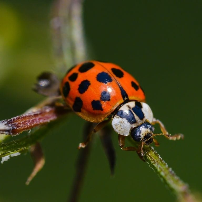 asian lady beetle on twig has distinctive black m on head