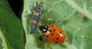 ladybug beside larvae on underside of leaf