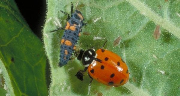 ladybug beside larvae on underside of leaf