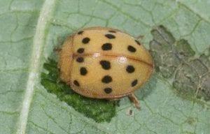 mexican bean beetle is orange on underside of green leaf
