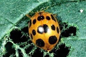 squash beetle on leaf